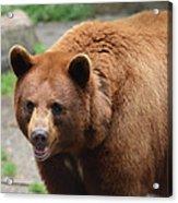 Cinnamon Black Bear Acrylic Print