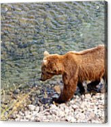 Cinnamon-colored Grizzly Bear By Moraine River In Katmai Np-ak  Acrylic Print