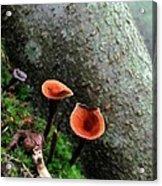 Cinnamon Polypore  Acrylic Print