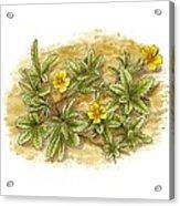 Cinquefoil (potentilla Reptans), Artwork Acrylic Print