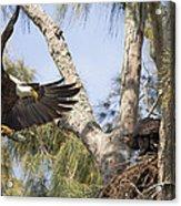 Bald Eagle Nest Acrylic Print
