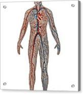 Circulatory System In Male Anatomy Acrylic Print