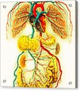 Circulatory System Acrylic Print