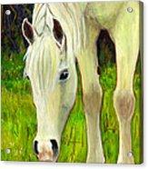 Cisco Sees Horse Art Acrylic Print