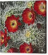 Claret Cactus - Vertical Acrylic Print by Gregory Scott