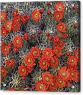 Claret Cup Cactus Flowers Detail Acrylic Print