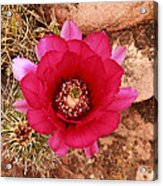 Claret Cup Cactus On Red Rock In Sedona Acrylic Print