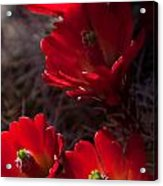 Claret Cup Acrylic Print