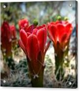 Claret Cup Summer Blooms Acrylic Print