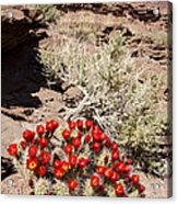 Claret Cups And Jug Handle Arch Acrylic Print