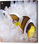 Clarks Anemonefish In White Anemone Acrylic Print