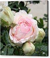 Classic Rose Acrylic Print