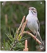 Clay-coloured Sparrow Pictures 35 Acrylic Print