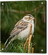 Clay-coloured Sparrow Pictures 50 Acrylic Print