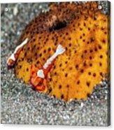Cleaner Shrimp On Sea Cucumber Acrylic Print