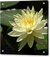 Clear Yellow Water Lily And Bud Acrylic Print