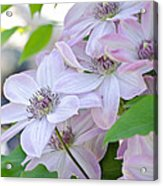 Clematis At Jack's Acrylic Print