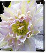 Clematis 'belle Of Woking' Acrylic Print