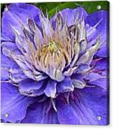 Clematis Blue Acrylic Print