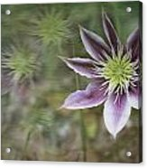 Clematis Fantasy Acrylic Print