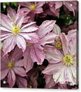 Clematis First Lady Acrylic Print