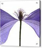 Clematis Float Acrylic Print