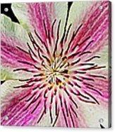 Clematis IIi Acrylic Print