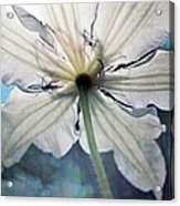 Clematis In Morning Sun Acrylic Print