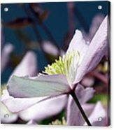 Clematis Montana Acrylic Print