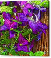 Clematis On The Fence-2014 Acrylic Print