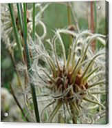 Clematis Seed Acrylic Print