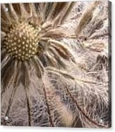 Clematis Seedpod Close Up Acrylic Print