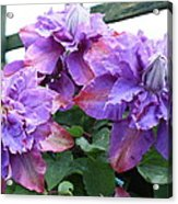 Clematis Vyvyan Pennell Acrylic Print