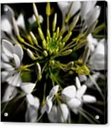 Cleome In Bloom Acrylic Print