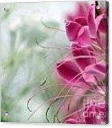 Cleome Meditation Love And Light Acrylic Print