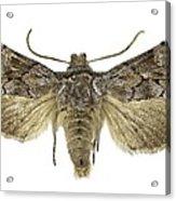 Cleonymia Yvanii Moth Acrylic Print