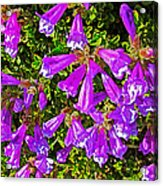 Cliff Penstemon On Watchman Overlook In Crater Lake National Park-oregon Acrylic Print