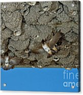Cliff Swallows At Nests Acrylic Print
