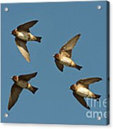 Cliff Swallows Flying Acrylic Print