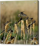 Cliff Swallows Perched On Grasses Acrylic Print
