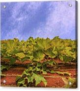 Climbing The Walls - Ivy - Vines - Brick Wall Acrylic Print