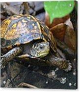 Climbing Turtle Acrylic Print