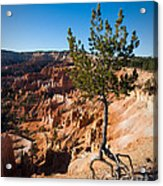 Clinging To The Edge Bryce Canyon Acrylic Print