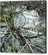 Clinging To Your Roots Acrylic Print