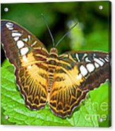 Clipper Butterfly Parthenos Sylvia Acrylic Print