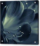 Clivia Miniata II Acrylic Print