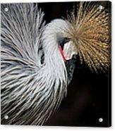 Close Portrait Of A Grey Crowned Crane Acrylic Print