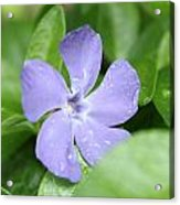 Close Purple Flower Acrylic Print