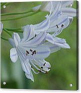 Close Up - African Lily Acrylic Print