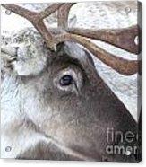 Close-up Caribou Reindeer Acrylic Print